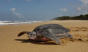 A female leatherback turtle crawls back to the Caribbean Sea after nesting.