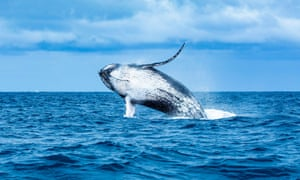 Humpback whale jumping out the sea