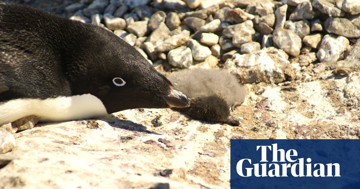 Penguin Disaster As Just Two Chicks Survive From Colony Of   Penguin Disaster As Just Two Chicks Survive From Colony Of    Environment  The Guardian Research Papers For Sale Online also Essay On Health Care  Thesis For A Narrative Essay