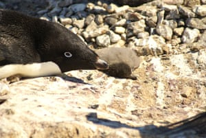 Penguin disaster as just two chicks survive from colony of