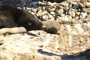 A dead penguin chick