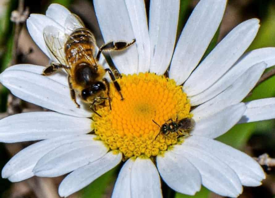 An introduced honey bee and a smaller native sweat bee share a flower in a Patagonian forest.
