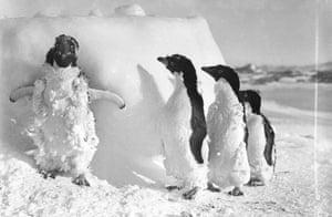 Ice-cased Adelie penguins after a blizzard at Cape Denison