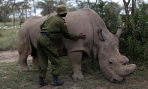 A wildlife ranger strokes one of the world's last three northern white rhinos at Ol Pejeta Conservancy in Kenya last month.