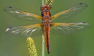 The scarce chaser or Libellula fulva has been extending its range.