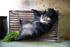 A moon bear plays at the Vietnam bear rescue centre in Tam Dao national park
