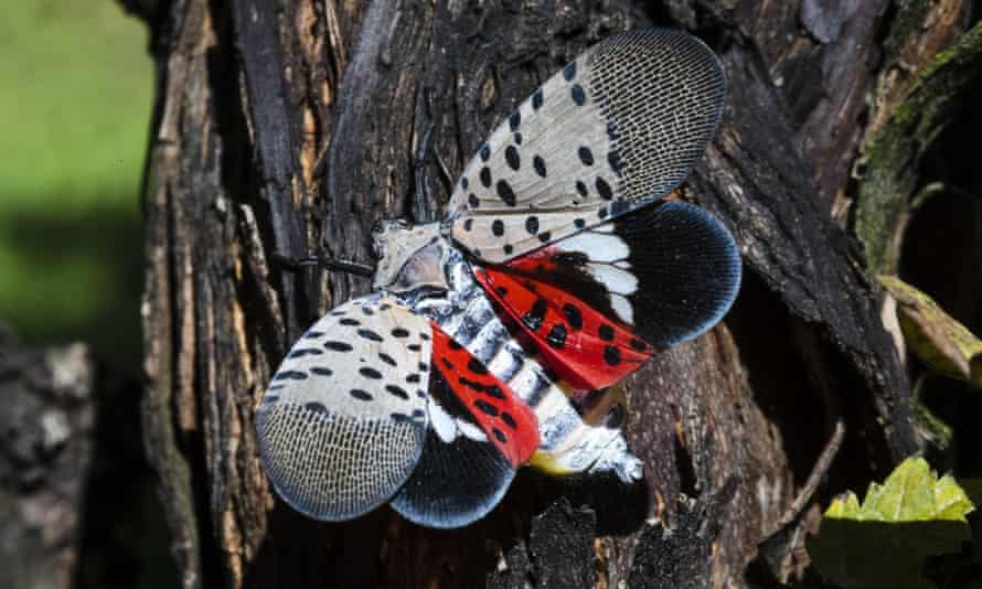 A spotted lanternfly at a vineyard in Kutztown, Pennsylvania. The insect has ravaged the US north-east in recent years.