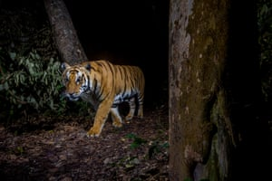 A tiger in Bardia national park, Nepal.