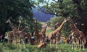 Longleat giraffes in colour