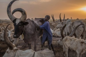 A boy tends a cow in the early morning