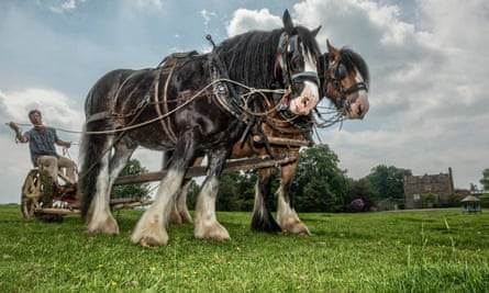 A pair of Heavy Horses at Acton Scott Historic Working Farm.