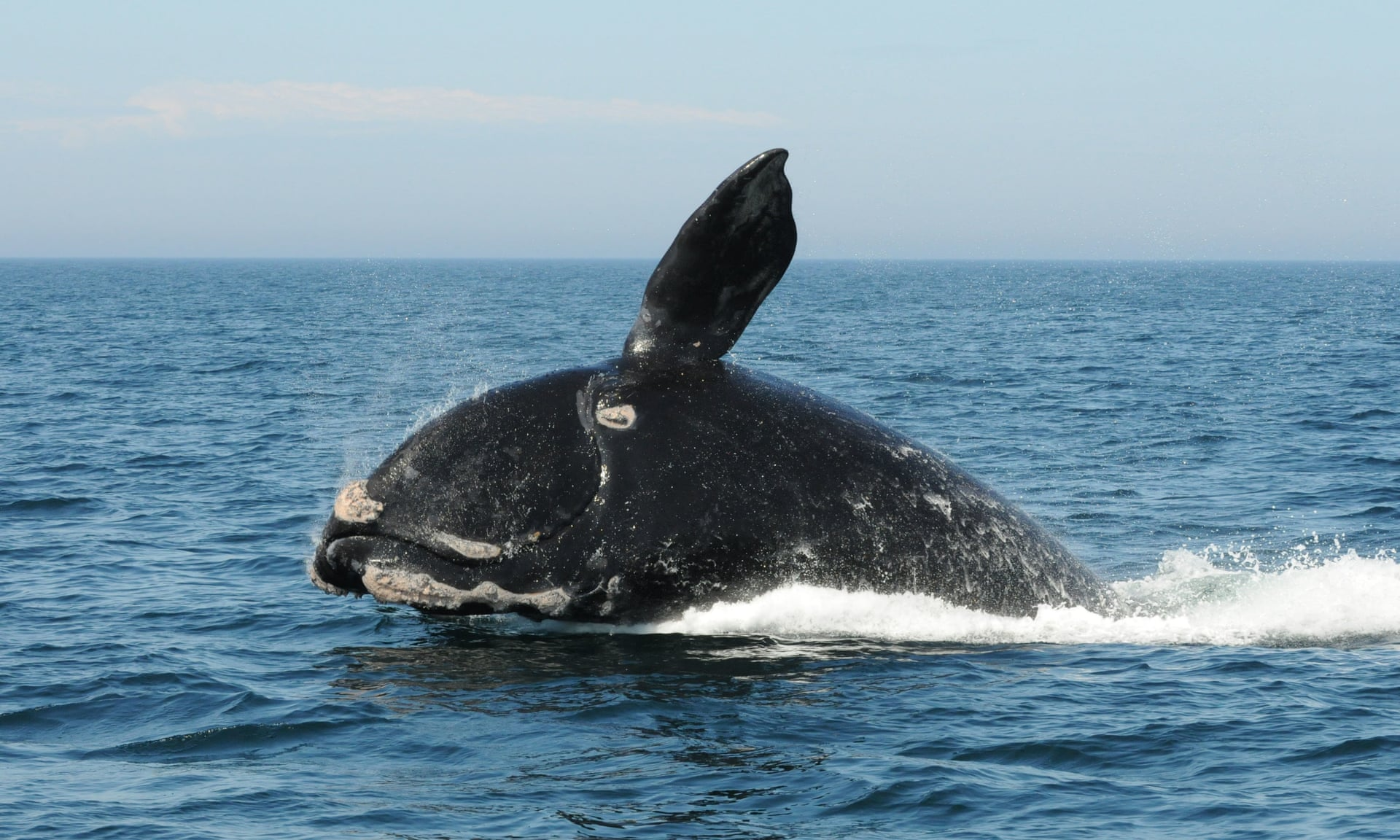 North Atlantic right whales now officially 'one step from extinction'