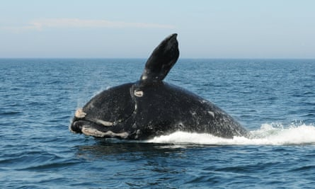 A North Atlantic right whale feeds on the surface of Cape Cod bay off the coast of Plymouth, Massachusetts. Fewer than 250 mature individuals remain in a population of roughly 400.