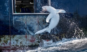 A shark is hauled into the hold of a Spanish longliner targeting swordfish in the South Atlantic Ocean. During September and October 2019 Greenpeace investigator Sophie Cooke and photographer Tommy Trenchard spent a month at sea on the Greenpeace ship Arctic Sunrise observing the hidden practices behind many of the deaths of 100 million sharks every year in the mid-Atlantic