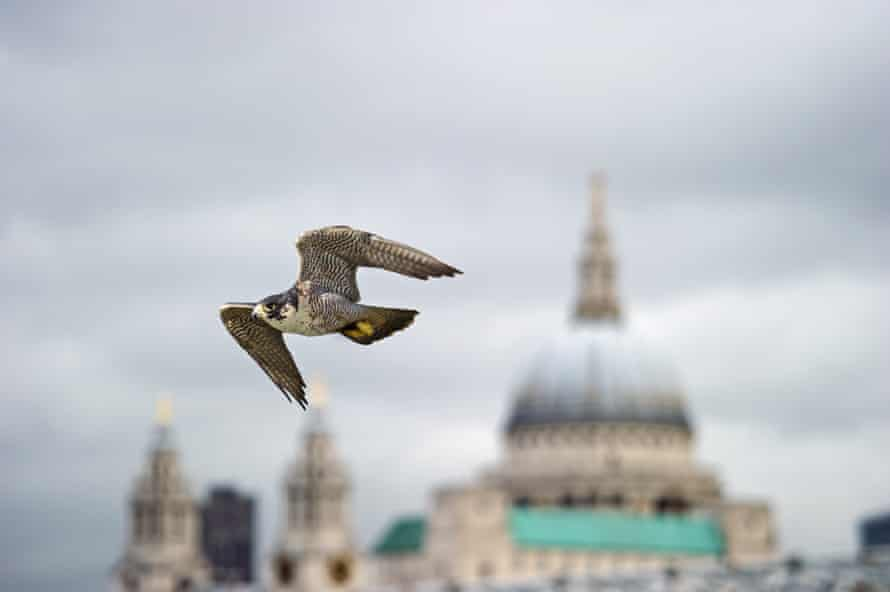 A peregrine falcon in flight near St Paul's Cathedral.