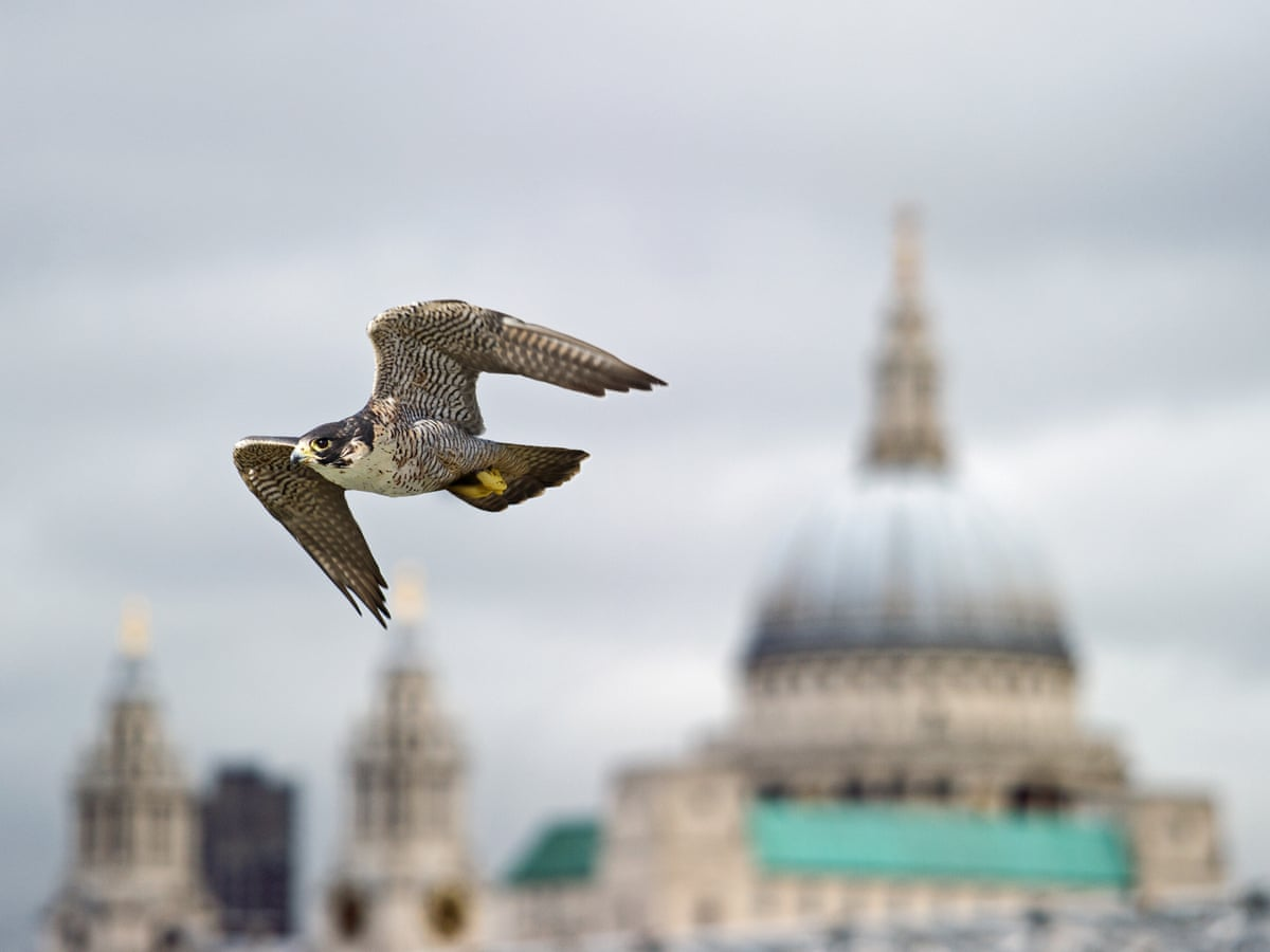 Flying High Why Peregrine Falcons Are Kings Of The Urban Jungle Environment The Guardian