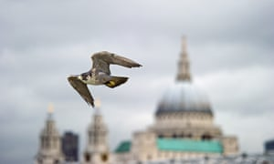 A peregrine falcon flies past St Paul's cathedral, London.