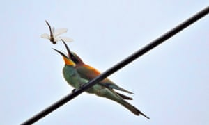 A bird catching a dragonfly, which is known in parts of the US as a 'sewing needle'.