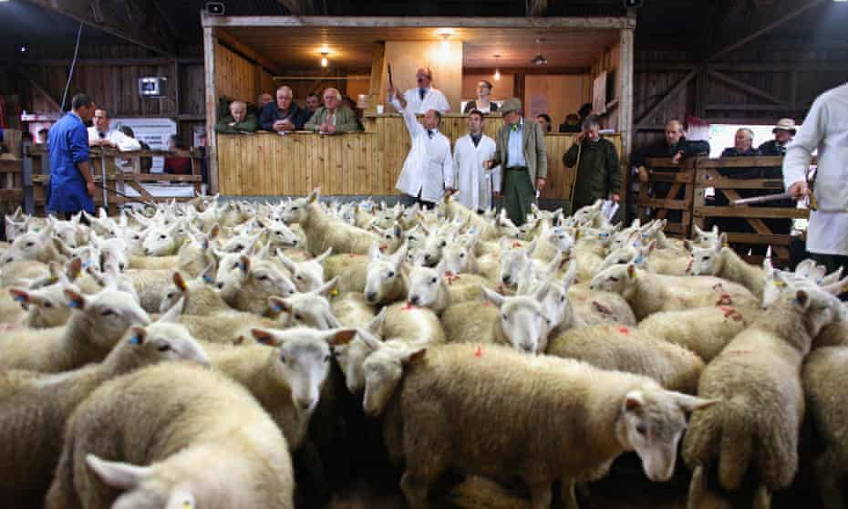 Lamb auction