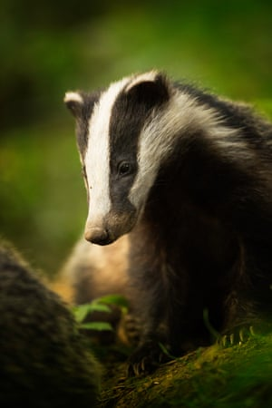 Animal portraits: Bean (Badger), Peak District National Park, Derbyshire