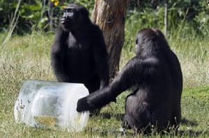 Western lowland gorillas enjoy an ice lolly at London Zoo