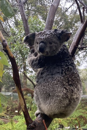 A wet koala at the Australian Reptile Park in Somersby, north of Sydney