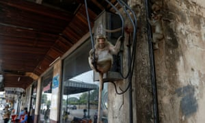 Monkeys hang from cables on a street in front of Prang Sam Yod temple amid declining tourism in Lopburi, Thailand.
