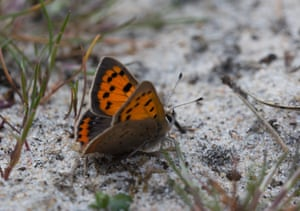 A small copper butterfly (Lycaena phlaeas) on Crooksbury Common, Surrey, England
