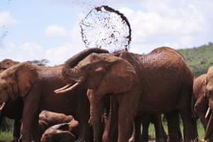 African elephants at the Mpala Research Center and Wildlife Foundation in Laikipia, Kenya