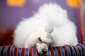 Over 200 breeds and varieties of dogs compete in the show