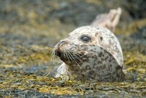 Seal on the Isle of Skye