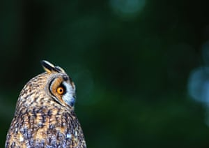A long-eared owl at the British Wildlife Centre, Surrey, UK