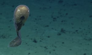 A cusk eel with an unusual head shape at an unnamed forearc seamount. It features small eyes, large nostrils and a mouth placed low on the head. This distinctive-looking animal could be a new species