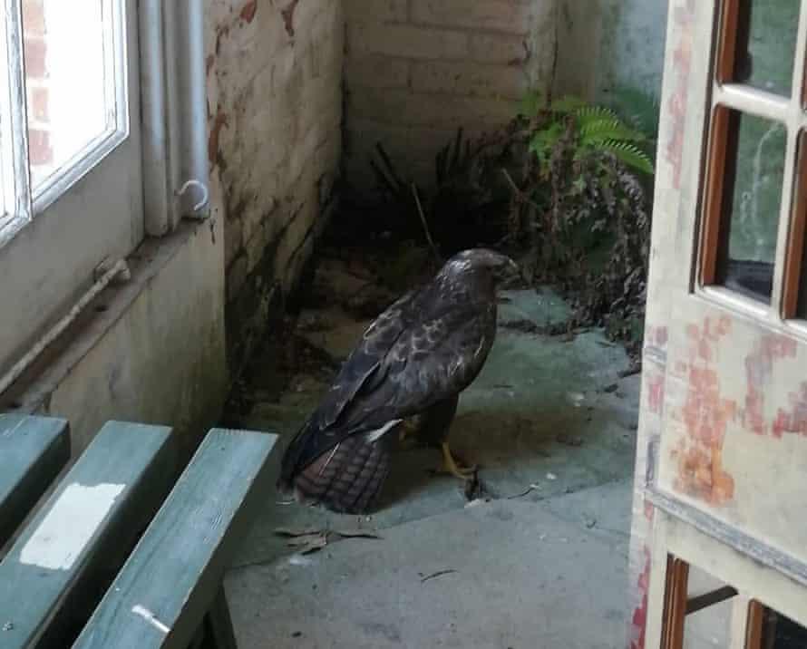 A buzzard makes itself at home at the orangery at Felbrigg Hall, Norfolk.
