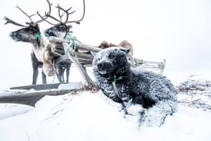 Dogs are treated like family in Nenets culture. Lena and her husband, Lyonya, have three dogs who are an essential part of herding their reindeer
