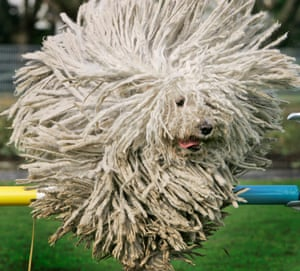 A Hungarian Puli sheep dog