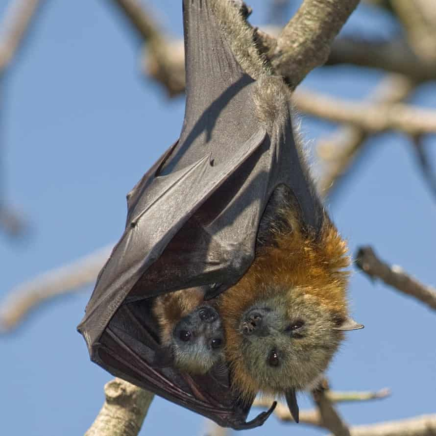 Flying-foxes are suffering from food shortages at a crucial stage of their breeding cycle, right when mothers have dependent pups on board.