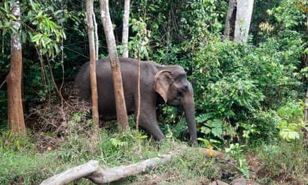 Wild elephant in forest