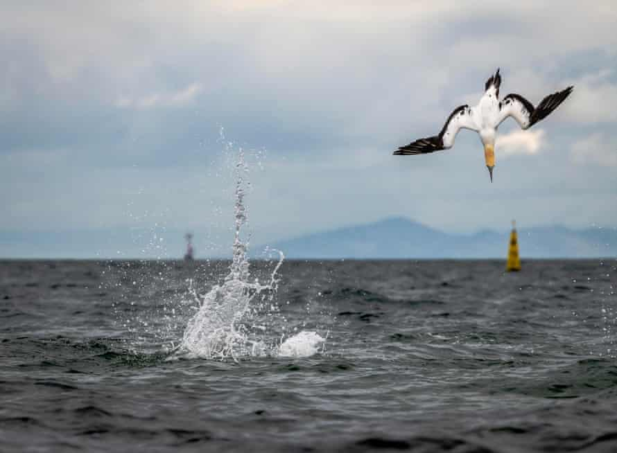 Australasian gannets dive into the water to fish in Port Philip Bay, Victoria.