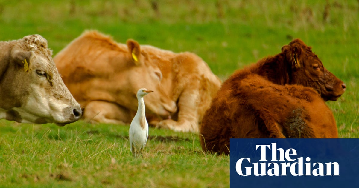 With a head-pumping strut, the cattle egret stalks around