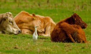 A cattle egret waits among a herd, ready to pounce for insects.