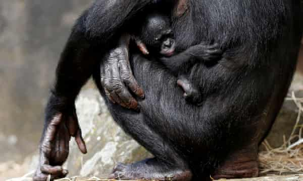 A one-week-old baby bonobo with its mother.
