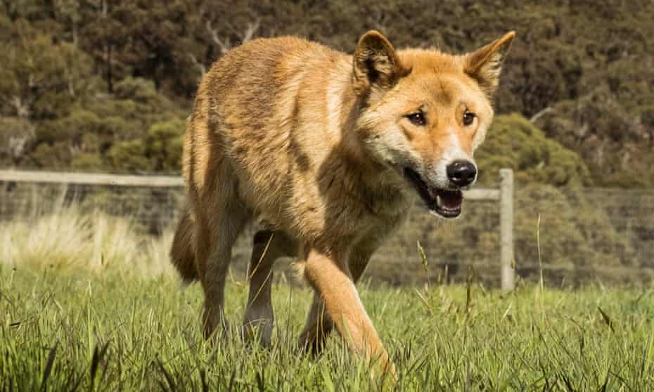 Wandiligong the dingo