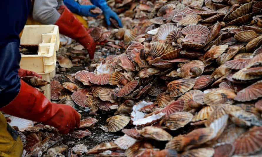 Fishermen sort through scallops