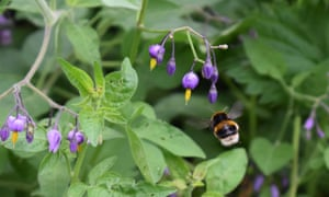 A bumblebee in flight towards the purple flower of bittersweet nightshade.