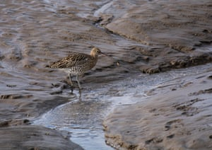 A curlew foraging in wet sand, Morecambe Bay, Lancashire, UK