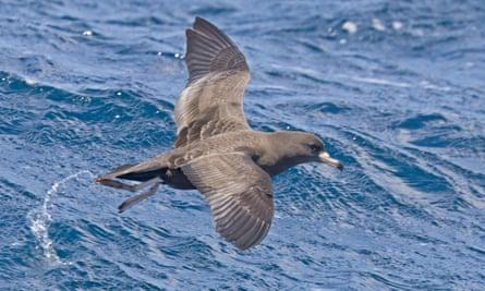 A flesh-footed shearwater in flight near New Zealand.