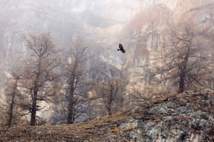 GDT Nature photographer of the year 2018, overall winner and first place in the birds category: Maximilian Hornisch (Germany) - Golden Eagle, the Alps