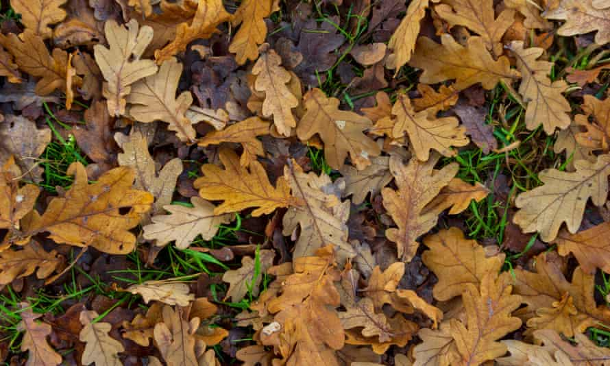 Dry oak leaves on forest floor