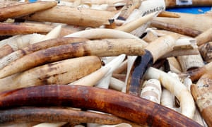 Illegal ivory seized by French authorities. Under new plans, ivory traders in Europe will be restricted to selling antique items made from long-dead elephants